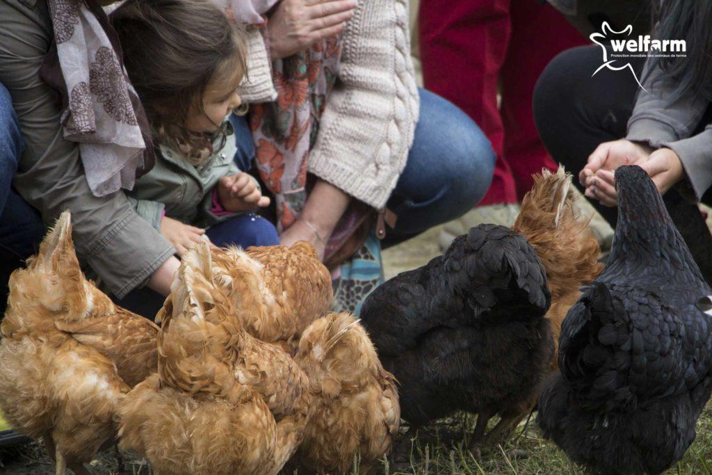 Les poules de la ferme de la hardonnerie à Vauquois