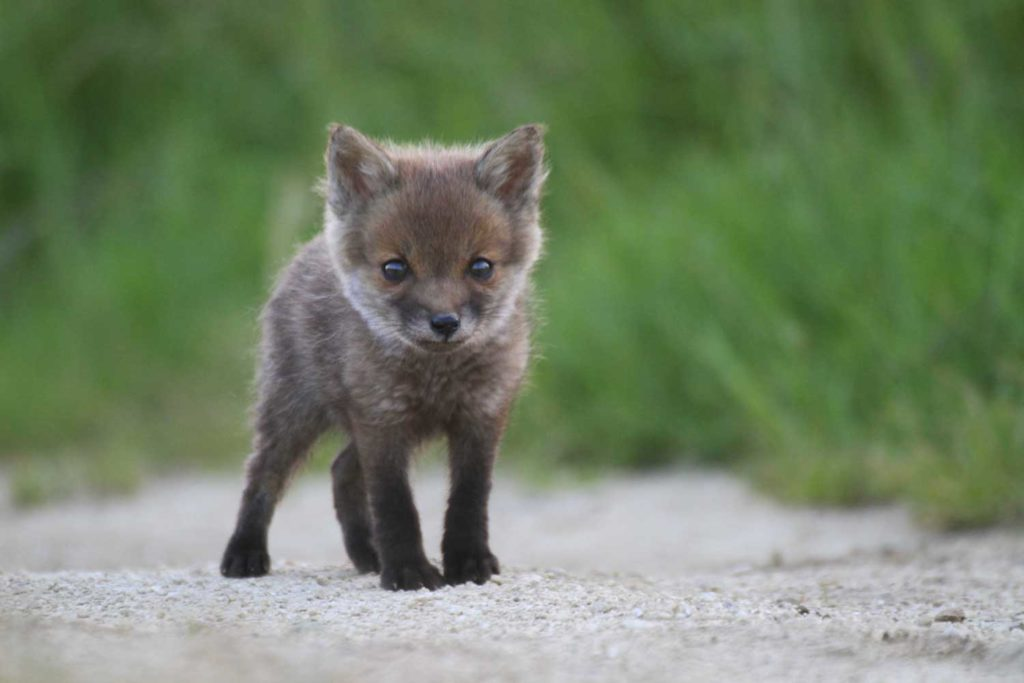 Jeune renard en Argonne